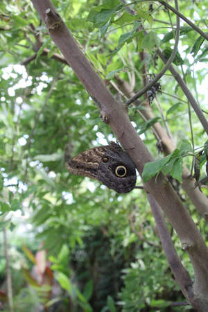 The Great Owl Butterfly is native to central and south America and inhabit rain forests.
