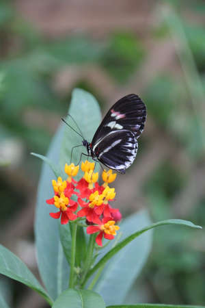 The Postman Butterfly is native to Mexico and central America and inhabit rain forests.