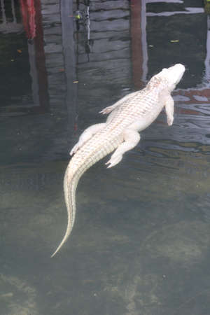 Albino Alligator. This lack of natural colour is due to the body not producing melanin, the pigment that normally provides colour to skin and scales. Albino alligators rarely live to old age due to their lack of camouflage and protection from the sun. Banco de Imagens