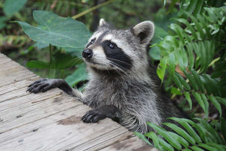 The raccoon, is a medium-sized mammal native to North America. The raccoon is the largest of the procyonid family, having a body length of 40 to 70 cm and a body weight of 5 to 26 kg Banco de Imagens