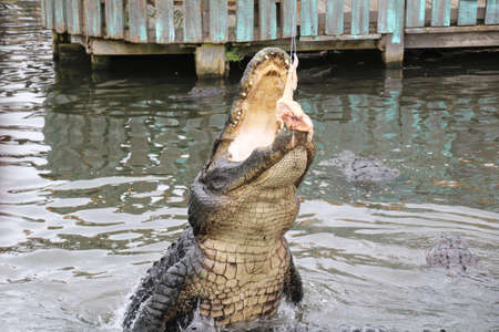 American Alligator is a crocodilian in the genus Alligator of the family Alligatoridae. This is one of the two living species (the other being found in Asia). Banco de Imagens