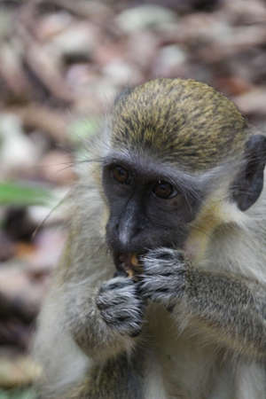 Barbados Green monkey was originally brought to the island from Africa by early settlers. They live wild within the forests and are considered pests by the local farmers.
