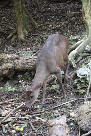 Brocket Deer in a Barbados forest. Banco de Imagens