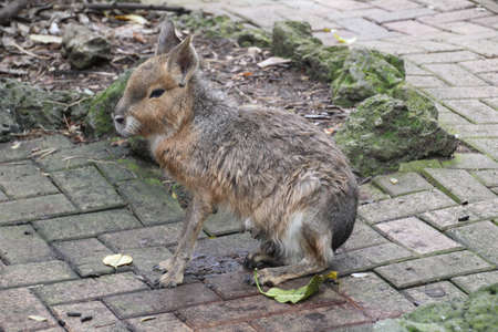 The Patagonian mara (Dolichotis patagonum) is a relatively large rodent in the mara genus Dolichotis. It is also known as the Patagonian cavy, Patagonian hare, or dillaby. This herbivorous, somewhat rabbit-like animal is found in open and semiopen habitats in Argentina, including large parts of Patagonia. Banco de Imagens