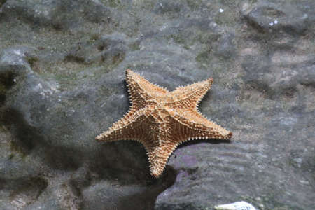starfish or sea star trapped in a rockpool at low tide.