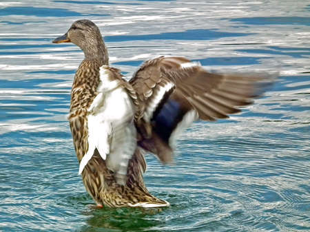 Male Mallard duck flapping wings on lake photo
