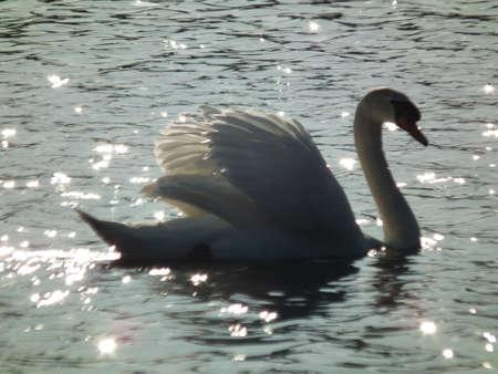 glistening: Mute Swan on lake glistening in the sunlight