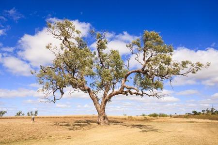 Coolabah Tree Australia