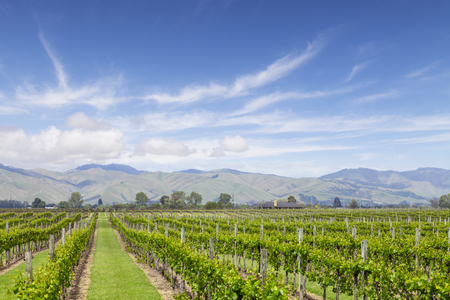 Marlborough Vineyard New Zealand 写真素材