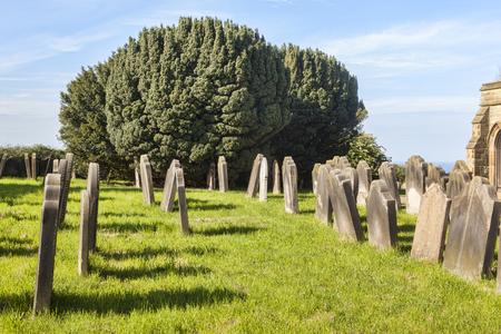 Yew Tree in Graveyard