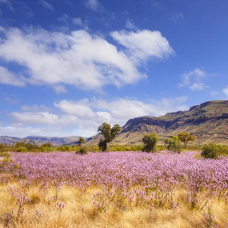 Pilbara Western Australia Wild Flowers