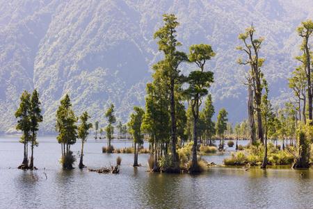 Kahikatea Trees in Lake Brunner Stock Photo