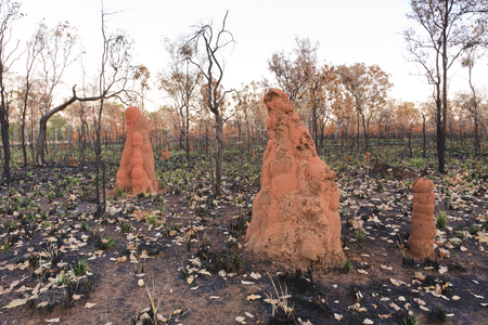 Termite Mounds in Bushfire Area, Northern Territory Australia