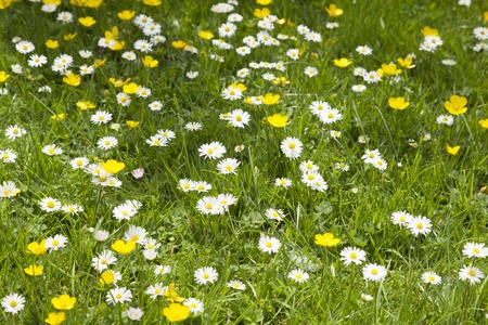 Buttercups and Daisises