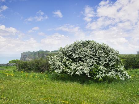 Hawthorn in Full Bloom