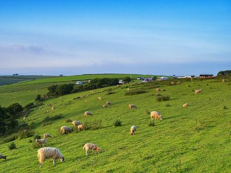 Sheep on a Hillside Devon UK Banco de Imagens - 123403046