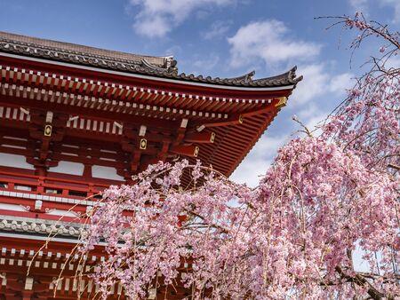 Cherry Blossom at Senso-ji Temple, Tokyo