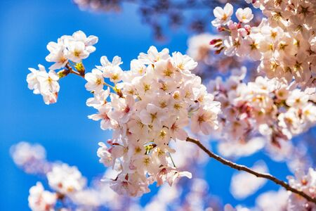 Cherry Blossom against a Bright Blue Sky Archivio Fotografico