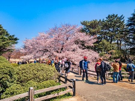 Cherry Blossom Viewing in Shinjuku Gyoen National Garden, Tokyo