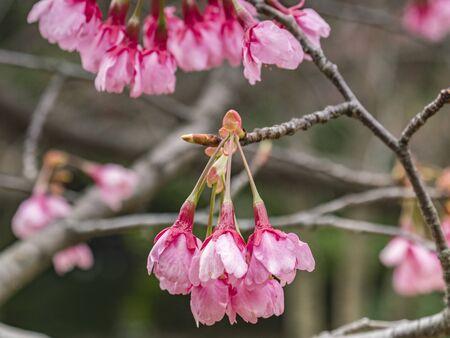 Cherry Blossom, Tokyo, Japan Archivio Fotografico