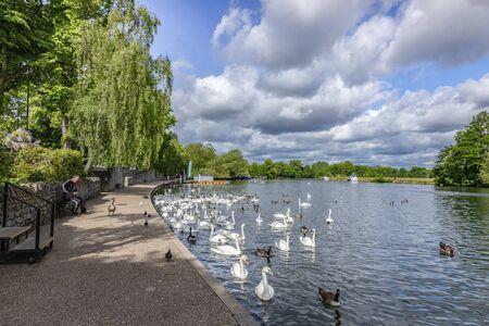 Swans on the River Thames at Windsor, UK