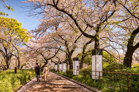 Cherry Blossom Walk, Tokyo