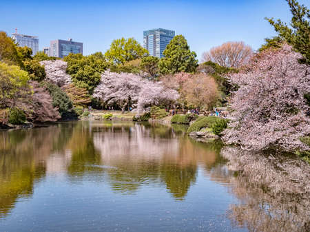 Cherry Blossom in Shinjuku Gyoen National Garden, Tokyo 新闻类图片