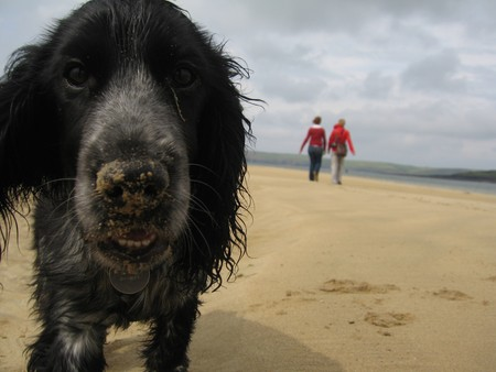 roan: Puppy with a sandy nose - A blue roan Cocker-Spaniel puppy on a sandy beach