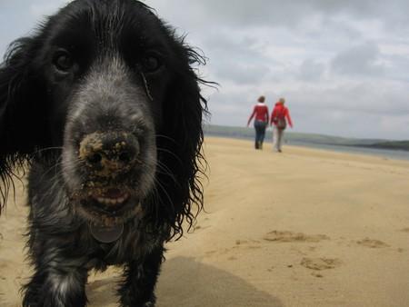Puppy with a sandy nose - A blue roan Cocker-Spaniel puppy on a sandy beach