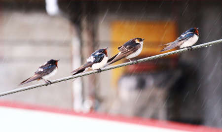 transient: swallows Stock Photo