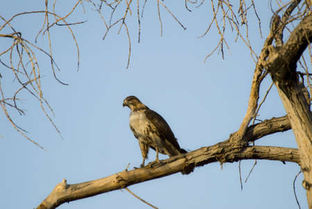 redtail: Redtail hawk perched on branch. Stock Photo