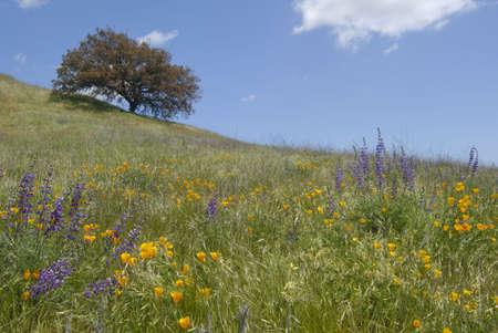 California wild flowers and oak tree at the Santa Rosa Plateau Ecological Reserve.