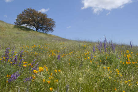 plateau of flowers: California wild flowers and oak tree at the Santa Rosa Plateau Ecological Reserve.