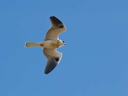 white tail: Vista inferiore bianco coda Kite impennata nel cielo limpido luce diurna.