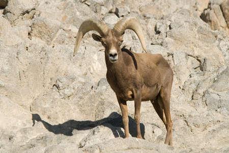 bighorn sheep: Bighorn pecore sulla montagna rocciosa nel deserto della California. Archivio Fotografico