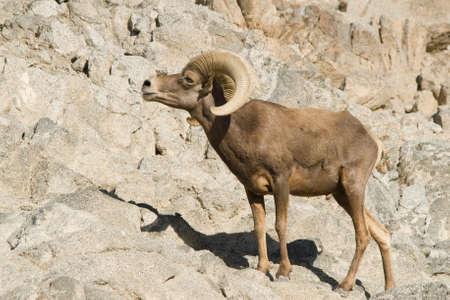 rocky mountain bighorn sheep: Bighorn sheep on rocky mountain in California desert. Stock Photo