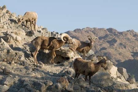 Bighorn sheep flock on rocky mountain in California desert. photo