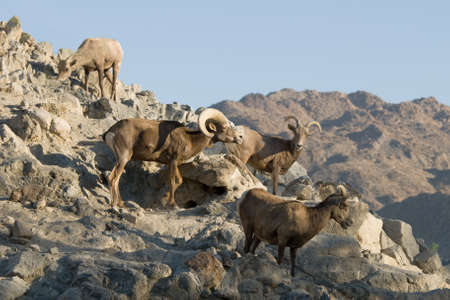 rocky mountain bighorn sheep: Bighorn sheep flock on rocky mountain in California desert.