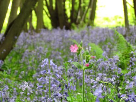 bluebell woods: Bluebells