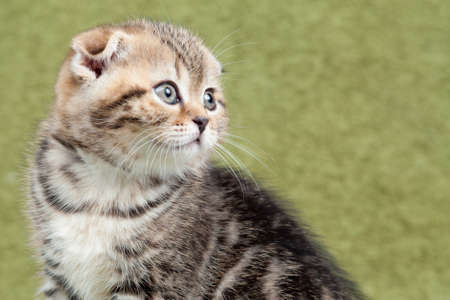 Little scottish kitten on green background