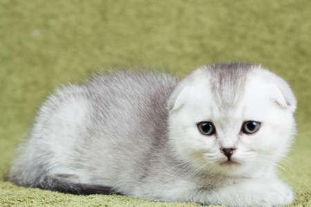 Little scottish kitten on green background