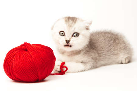 Scottish thoroughbred tabby kitten with gray wool plays with a ball of yarn
