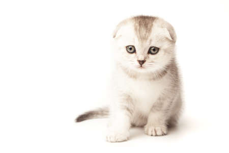 Scottish thoroughbred kitten with grey colored wool at white background