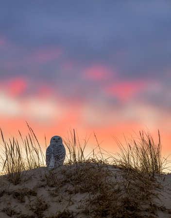 Snowy Owl Stockfoto