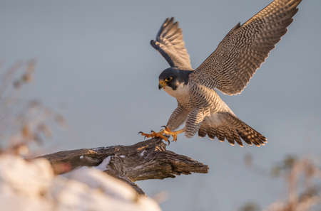 Falco pellegrino Archivio Fotografico - 93233977