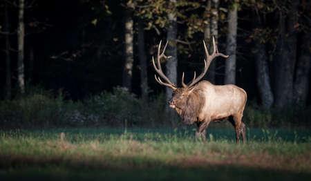 Elk in Pennsylvania Фото со стока