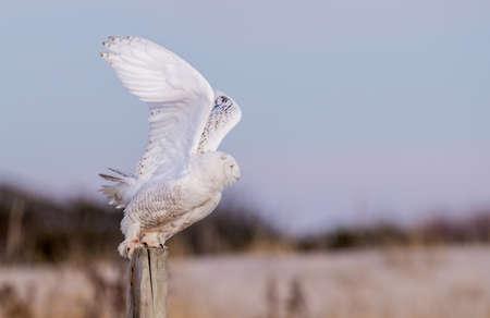 Snowy Owl in Winter Stockfoto