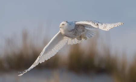 Snowy Owl at the Beach