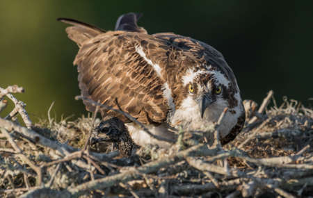 An osprey in central Florida