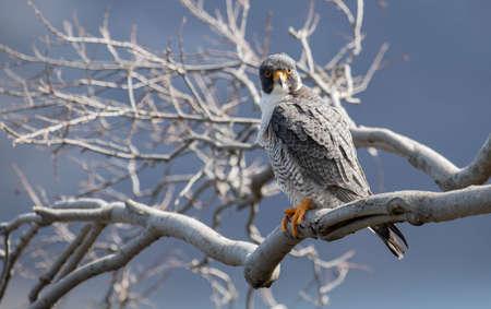 Peregrine Falcon in New Jersey Stock Photo